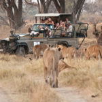 a pride of lions walk along the jeep track toward a game drive vehicle at machaba camp, okavango delta botswana