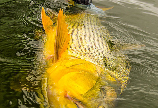a trophy golden dorado is held in the water for release at Suinda lodge, Argentina