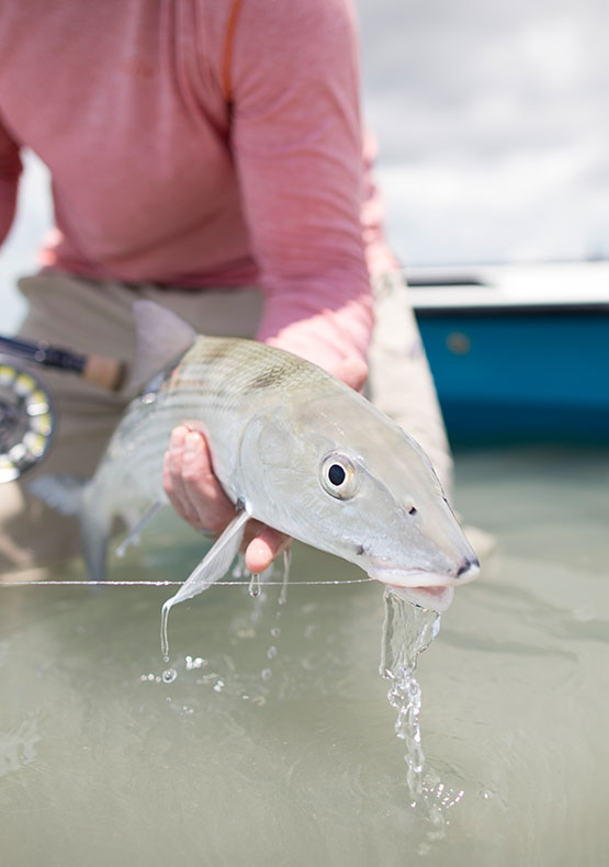 A bonefish being being held just out of the water with a fly in its mouth at Abaco Lodge, Bahamas