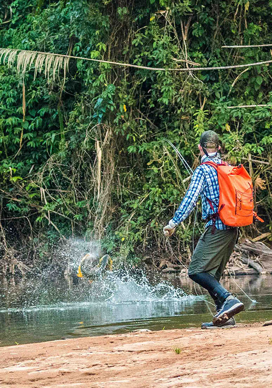a freshwater fly fisherman fights a jumping golden dorado on a Jungle expedition, Bolivia
