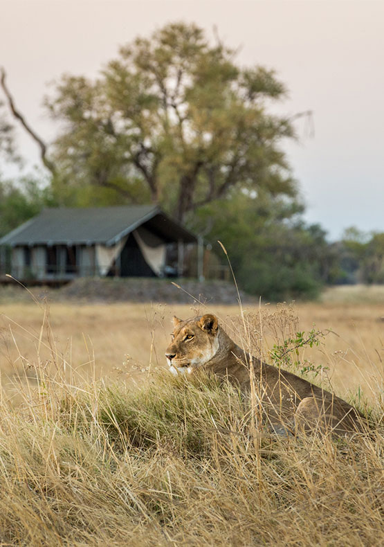 a lioness sitting in the plains grass with the Little Machaba camp in the background, in the Okavango delta, Botswana