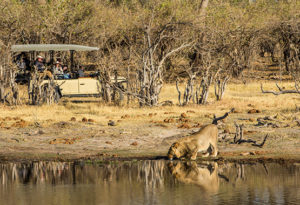 a young male lion stops to drink at a waterhole with guests in a game drive vehicle watching from behind at Machaba Camp, Okavango Delta Botswana