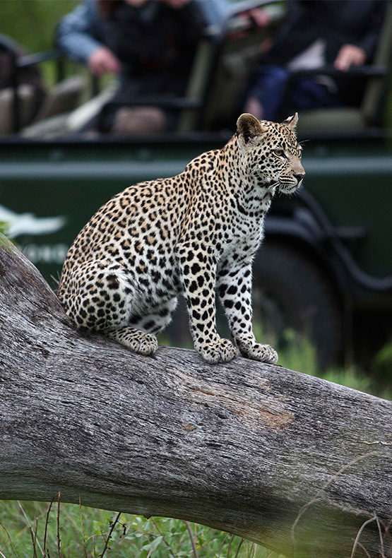 a leopard in a tree at sabi sands