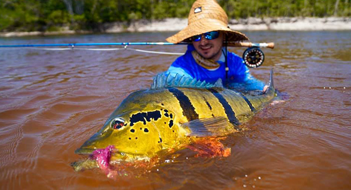 a huge peacock bass caught on fly