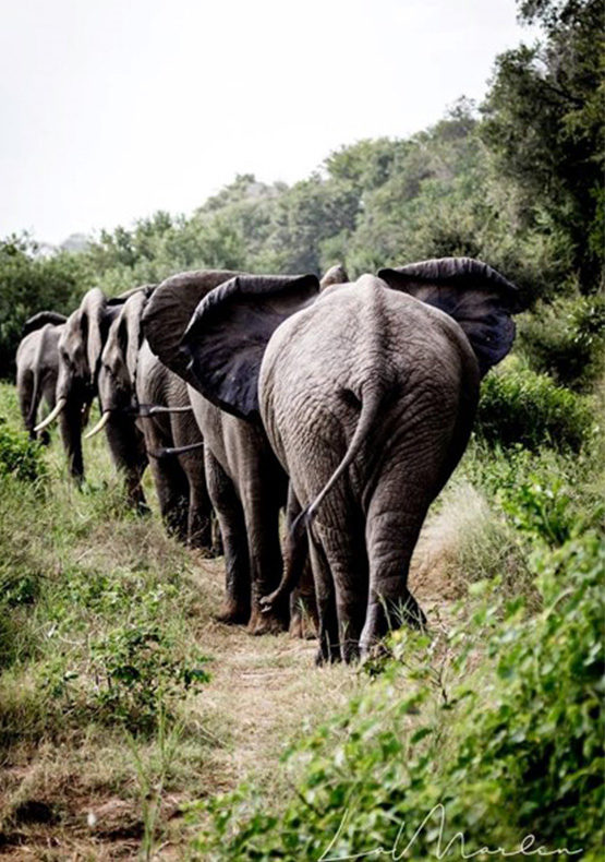 elephants walking in a line