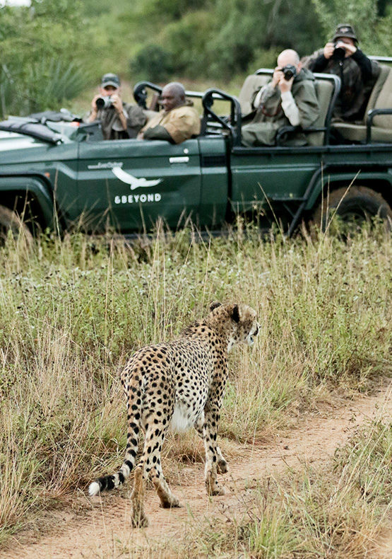 a cheetah sighting at phinda