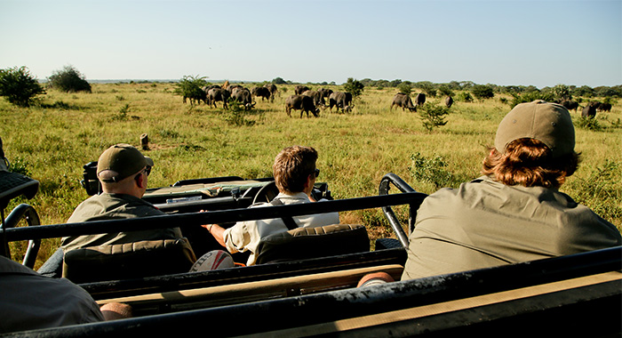 wildebeest from a game drive vehicle