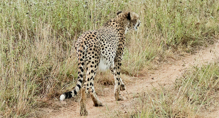 cheetah on the road